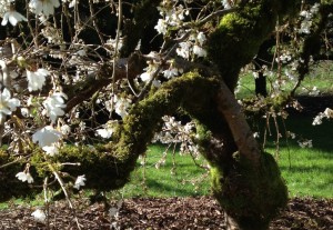 Gnarly old cherry trees can dance and bloom with the best of them