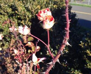 Winter morning rose 1-1-16